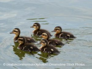ducklings_small